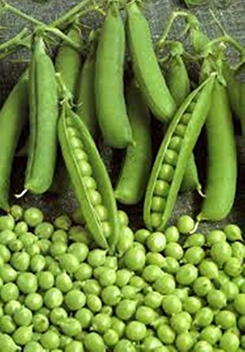 Green Bush Pea Seeds Alpha Organically Grown Russian Heirloom, NON-GMO - Bush Pea