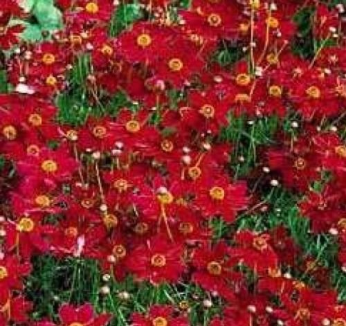 Plains Coreopsis Tall RED Flower 100 Fresh Seeds