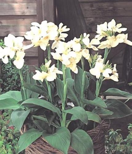 Canna Tropical Series White Annual