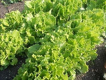Odessa Curved Lettuce Salad Seeds for Planting Around 200 Seeds
