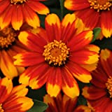Zinnia Zahara Sunburst Seeds - Flower Seeds Package - 250 Seeds
