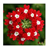 Flower Seeds Verbena x Hybrida Red from Ukraine