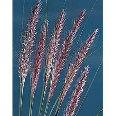Ornamental Grass Seed - Pennisetum Setaceum Ruepelii Seeds : Garden & Outdoor