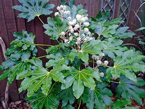 (1 oz Seeds (Approx 3875 Seeds) of Fatsia Japonica, Aralia sieboldii, Paper Plant, Formosa Rice Tree)