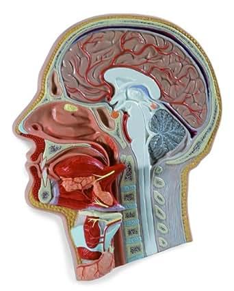 Corte medial de la cabeza, desmontable en 5 piezas