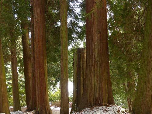 Western red Cedar (Thuja plicatapprox 60 Seeds