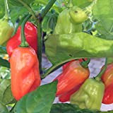Hinkelhatz Pepper, 20 Seeds