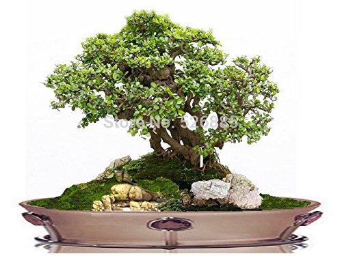 Bonsai Grass seeds, fake bonsai seeds, clover seeds grow faster - 100 Seed particles SVI