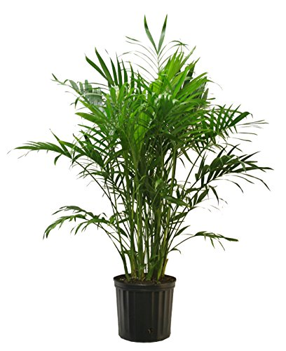 Costa Farms Cat Palm in 9.25-Inch Grower - Stores The Palms