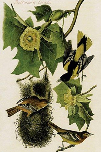 ArtParisienne Baltimore Oriole John James Audubon 24x36-inch Paper Giclée Print (America's Best Wings Baltimore)