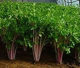 Multicolour celery seeds health care nutrition seeds