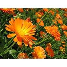 Seeds Pot Marigold Lekarstvennaya (Calendula officinalis) Medical Herb Flower