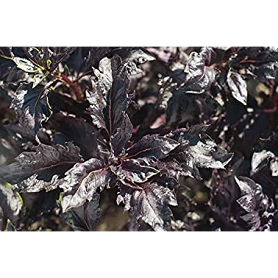 Purple Ruffles Basil Seeds - great in containers or garden beds as an ornamental(10 - Seeds) : Garden & Outdoor