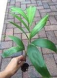 "Foxtail Palm, Wodyetia bifurcata Live Plant about 15"" tall"