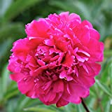 Peony Victoire de la Marne – 1 Healthy 3/5 Eye Peony Root Plant | Ships from Easy to Grow TM Review