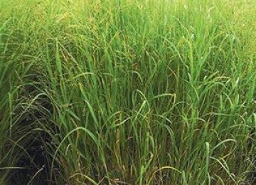(Switchgrass - 1 lb Bags)