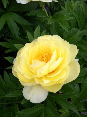 (Bartzilla Itoh Peony: Big 3-5 Eye Bareroot, Grown in Tennessee, ships from Rock Island, Tennessee)