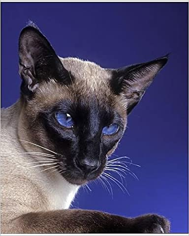 Photographic Print of LA-8128 Cat - Siamese seal point in studio - Seal Point Siamese Cats