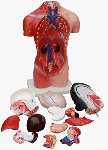 Unbekannt Weiblich Torso Anatomie Lehrmodell 15-teilig 45cm: Amazon ...