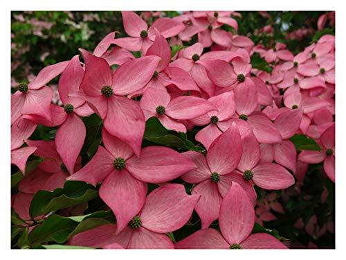 Scarlet Fire Dogwood 'Rutpink' – Cornus kousa - Heavy Rooted - Flowering - 1 Gallon Potted Plant by Growers (Cornus Kousa Dogwood Tree)