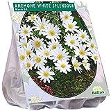 Anemone Blanda weiß 30 Stück Blumenzwiebel
