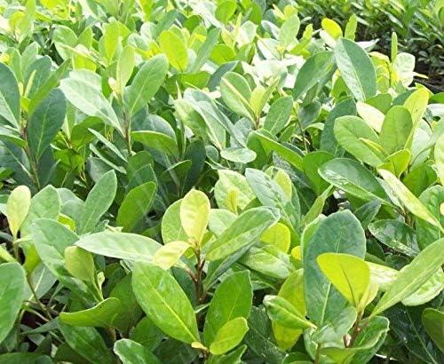 Yerba Mate Plant t Mate Tea Potted LIVE tree Ilex paraguariensis chimarrão