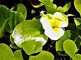 POND PLANT, WATER POPPY. (3 live plants)