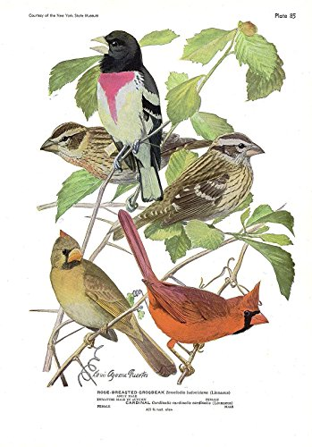 1936 Vintage FUERTES BIRDS #85