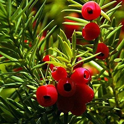 English Yew Tree Seeds (Taxus baccata) 20+Seeds : Garden & Outdoor