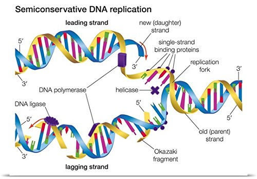 Encyclopaedia Britannica Poster Print entitled Semiconservative Dna Replication