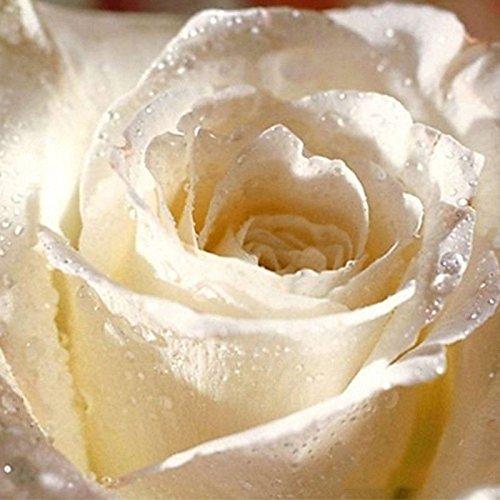 smrroy er 5sd 20個パープルブラックホワイトレッドブルーローズSeeds花盆栽 B00LUH5RWI ホワイト