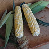 Sweet Corn Harris 1001 F1 - Insect Guard Treated Vegetable Seeds - 50,000 Seeds