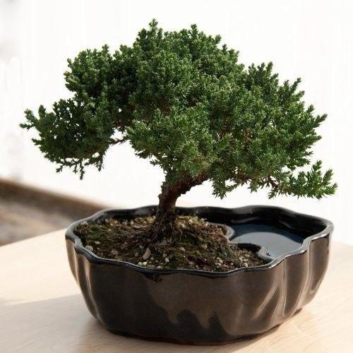 Zen Reflections Juniper Bonsai Flowering Indoor Houseplant Tree Plant Gift New