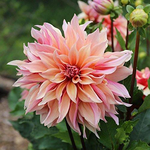 1 Bulbs Dahlia Decorative (Floral Labyrinth)