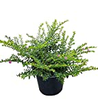 PlantVine Cuphea hyssopifolia, Mexican Heather - Medium - 6 Inch Pot (1 Gallon), 4 Pack, Live Plant