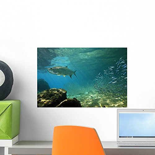Tarpon Megalops Atlanticus Hunting Wall Mural By Wallmonkeys Peel And Stick Graphic  18 In W X 12 In H  Wm35330