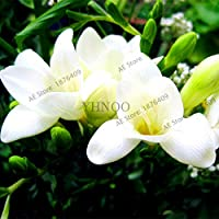 Freesia Bulbs Flower Bonsai | Orchid Freesia Rhizome Bulbous Flowers (100pcs|Bag)