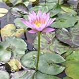 Pink Tropical Water Lily - Water Garden Live Pond Plant