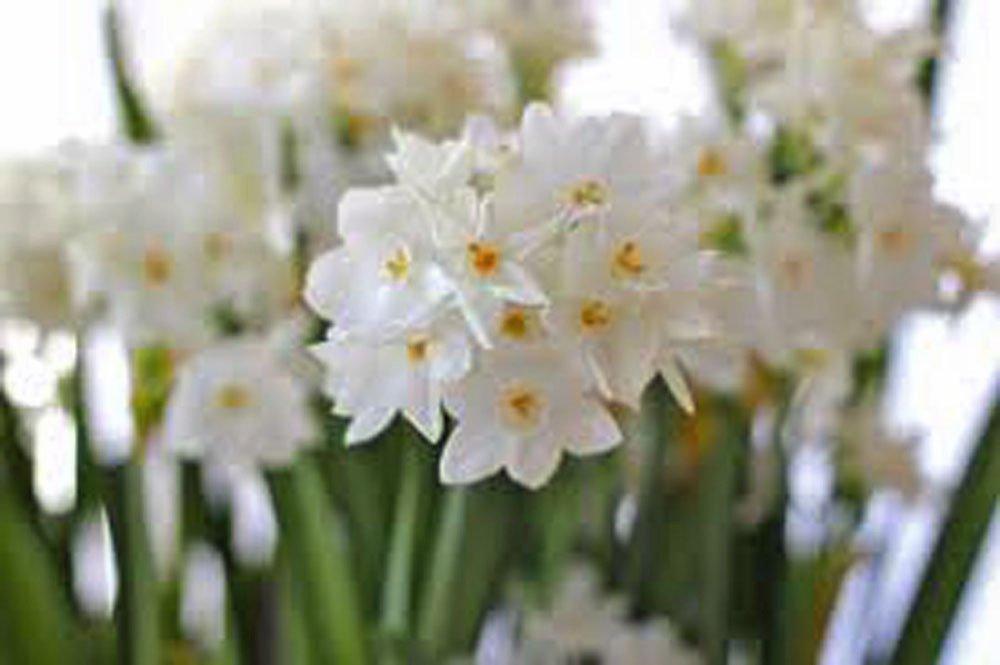 Amazon.com : Paperwhite, Bulb (5 Pack) Daffodil, White Perennial ...