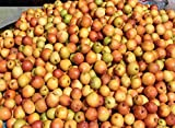 Tara-garden 40 SEEDS JUJUBE ZIZIPHUS JUJUBA CHINESE DATE FRUIT TREE BONSAI HARVEST FRESH