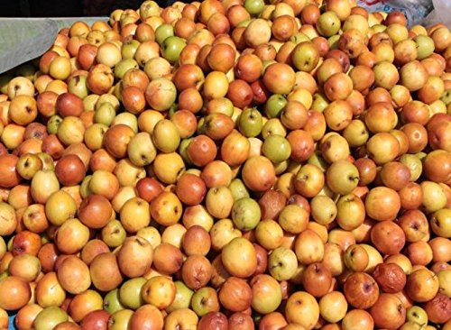 tara-garden-40-seeds-jujube-ziziphus-jujuba-chinese-date-fruit-tree-bonsai-harvest-fresh