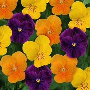Flower 20 Seed Viola Sorbet XP Autumn Mix