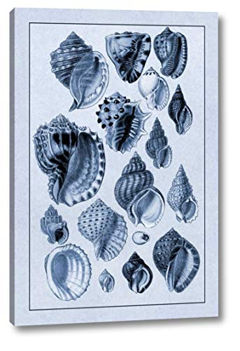 (Shells: Purpurifera (Blue) by G.B. Sowerby - 22