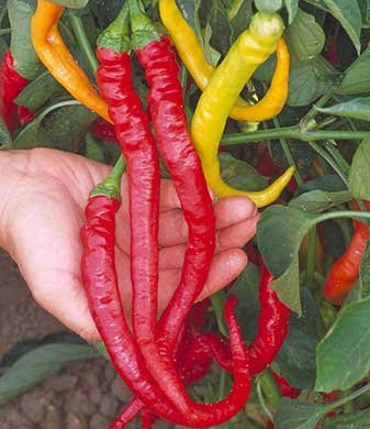 Seeds and Things Amazingly Long, Sweet, Cayenne Shaped Peppers Grow to 1 Foot Long 10 Seeds Per Pack