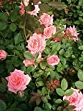 Cupcake Light Med Pink Miniature Rose 3 Gal Live Plants Flowers Plant Roses Home