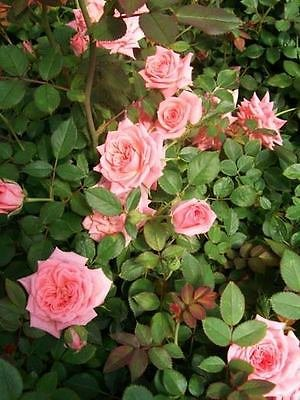 Cupcake Light Med Pink Miniature Rose 3 Gal Live Plants Flowers Plant Roses Home by tans_treasures