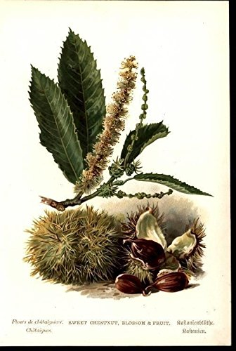 Sweet Chestnut Fruit Foliage c.1885 antique chromolithograph nature print
