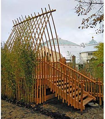 Caña de bambú amarilla, Moso, blanqueado, 2, 8-3, 5 cm, longitud 200 cm: Amazon.es: Jardín