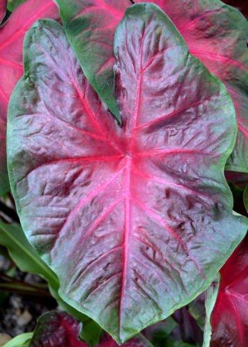 Caladium Red Bellied Tree Frog- Aroid elephant ear Colocasia
