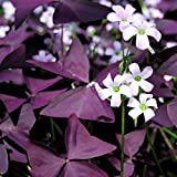 50 Oxalis Triangularis Bulbs - Purple Shamrocks - 50 Robust Bulbs #1 Tubers - Grows Indoors & Out from Easy to Grow TM